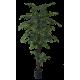 Árvore de Ficus Folha Verde