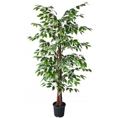Árvore de Ficus Folha Verde e Branca