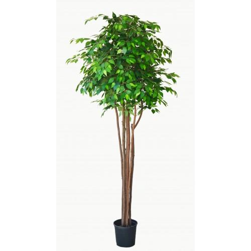 Árvore de Ficus